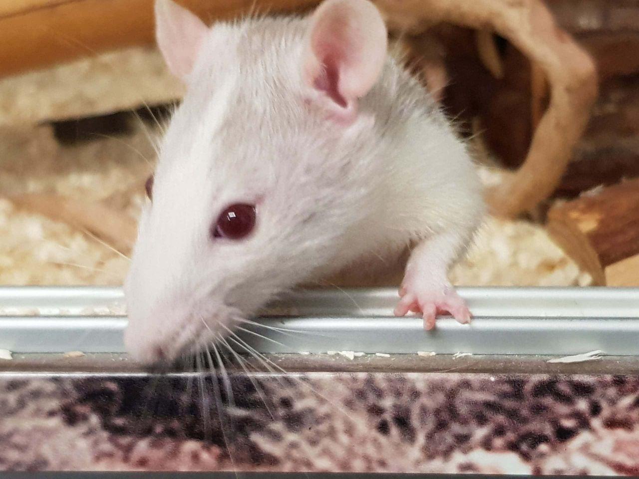 Was für ein Käse: Ratten-Flut im Tierheim in Würzburg