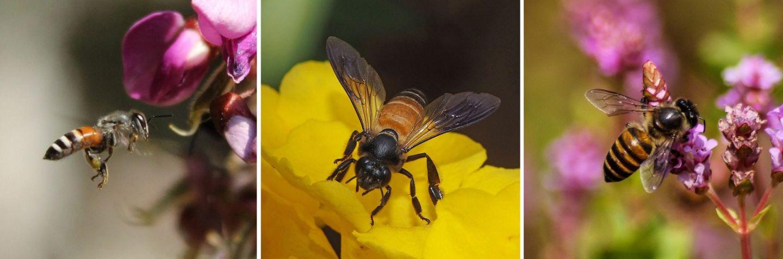 Bienen tanzen im Dialekt: großes Rätsel der Zoologie gelöst