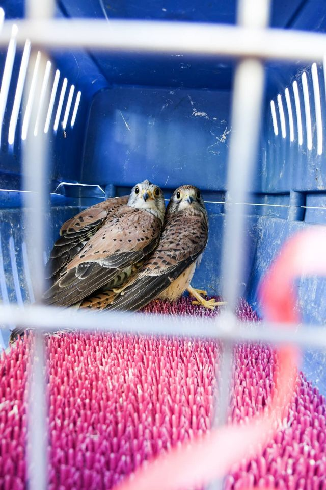 Falken wieder in Freiheit: Vögel waren auf Heidingsfelder Kirchendach gefangen