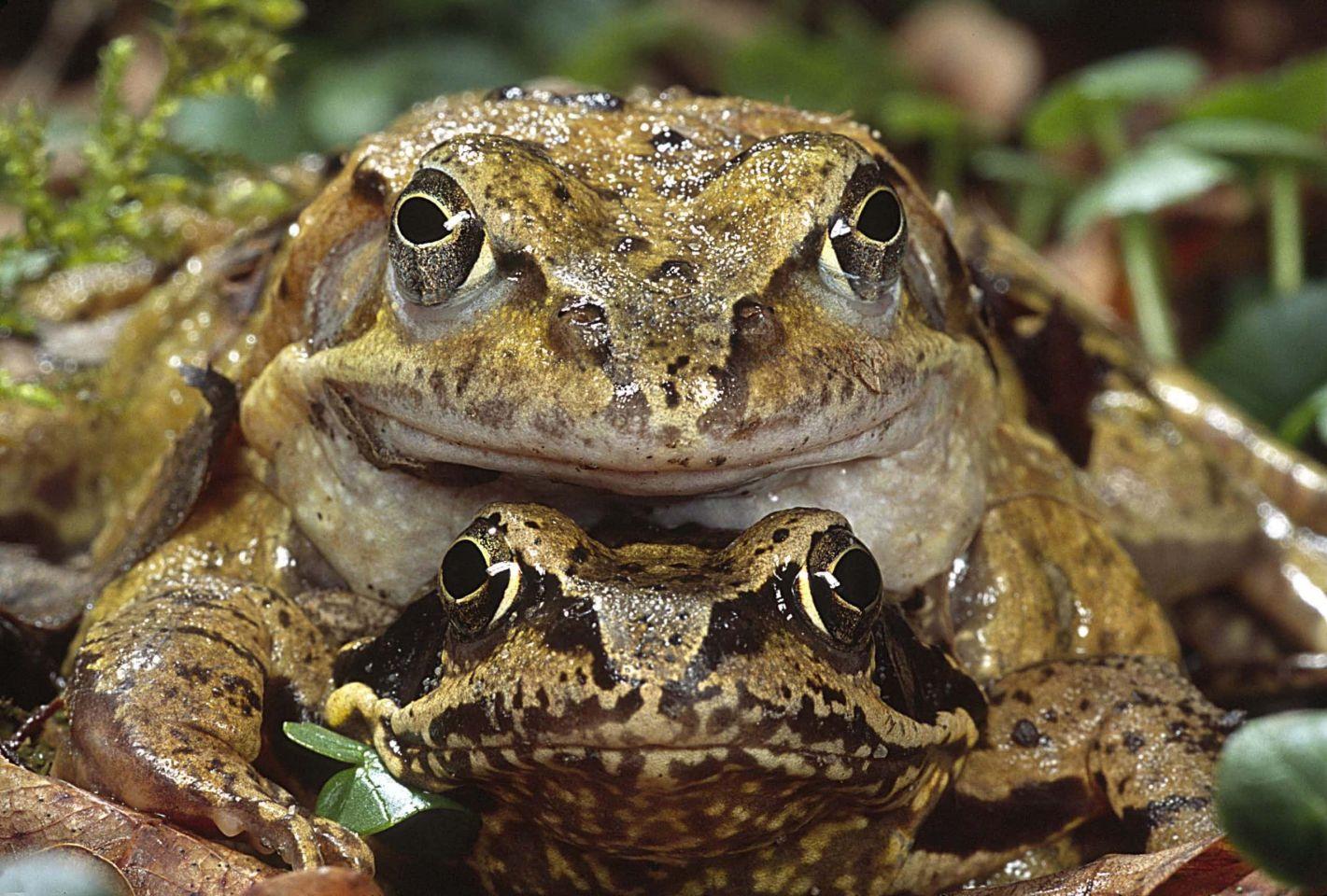 Amphibienwanderung: Frösche und Kröten hüpfen durch den Landkreis