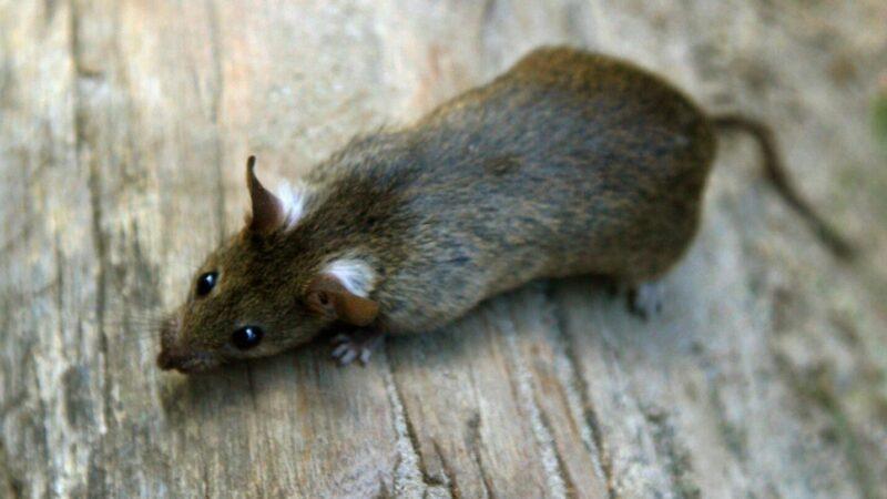 Mehr-Ratten-wegen-der-Corona-Pandemie