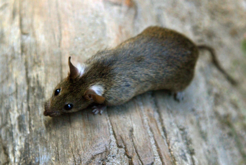 Mehr Ratten wegen der Corona-Pandemie?