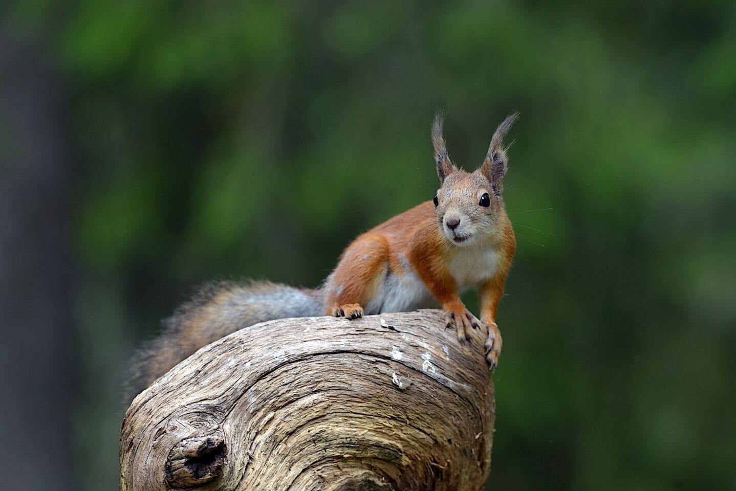 Wie viele Eichhörnchen leben in Bayern?
